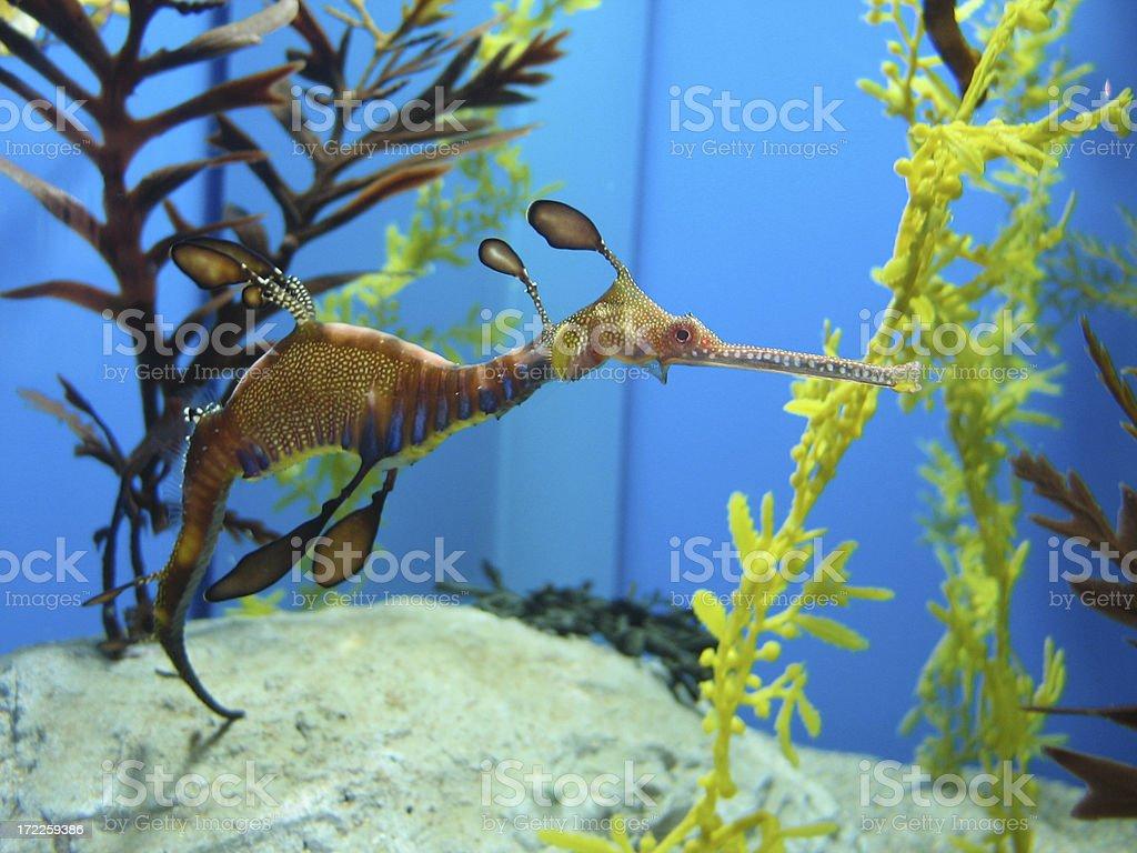 weedy sea dragon stock photo