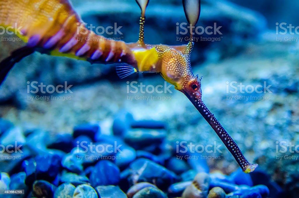 Weedy Seadragon (Phyllopteryx taeniolatus), Looks like a seaweed stock photo