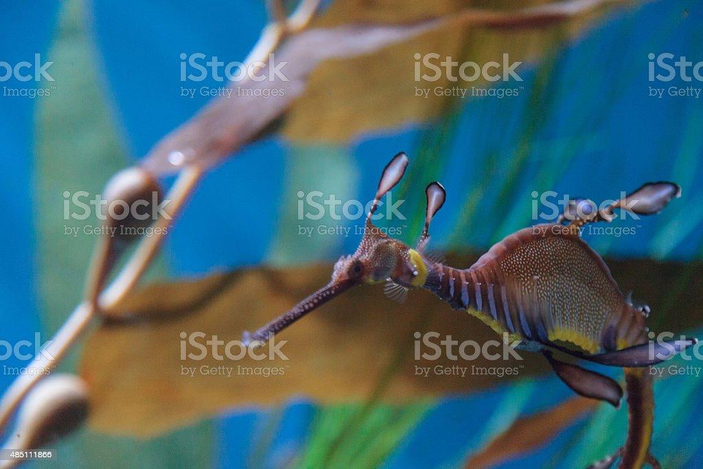 Weedy seadragon, Phyllopteryx taeniolatus stock photo