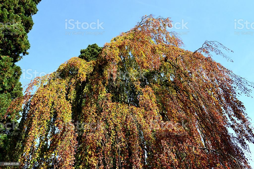 Weeping Beech 5 stock photo