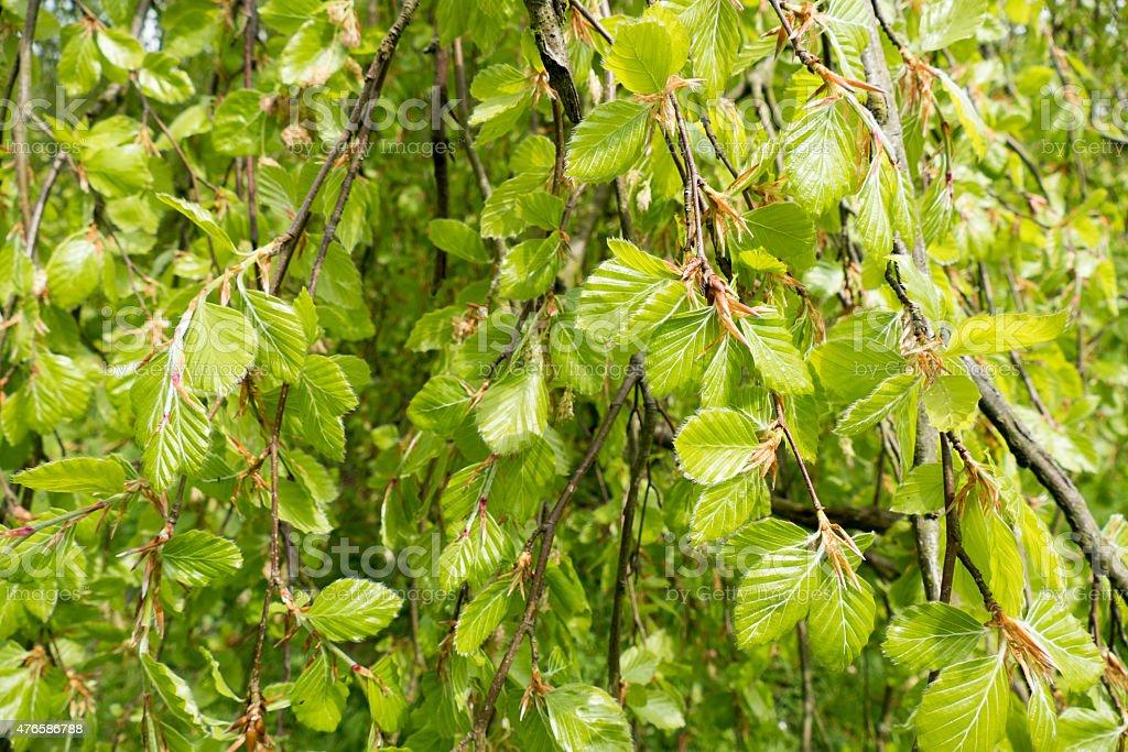 Weeping beech tree. stock photo