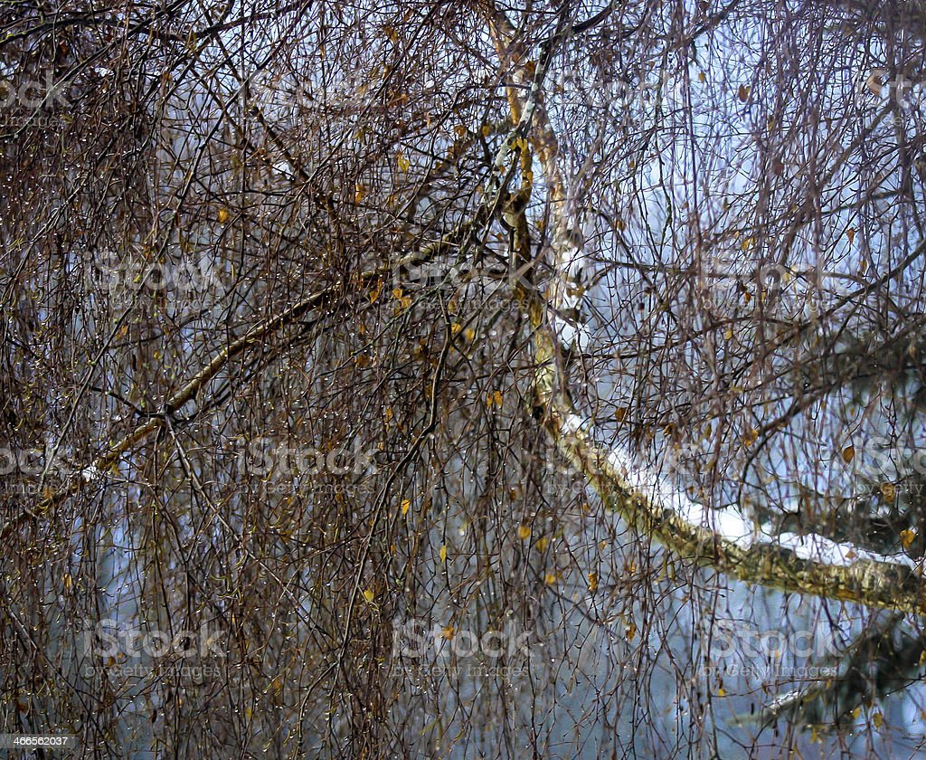 Weeping beech with dew drops stock photo