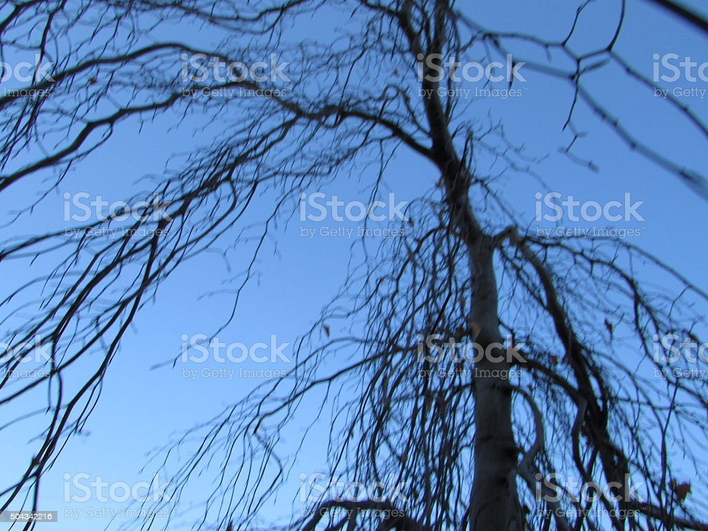 Weeping Beech with no leaves stock photo