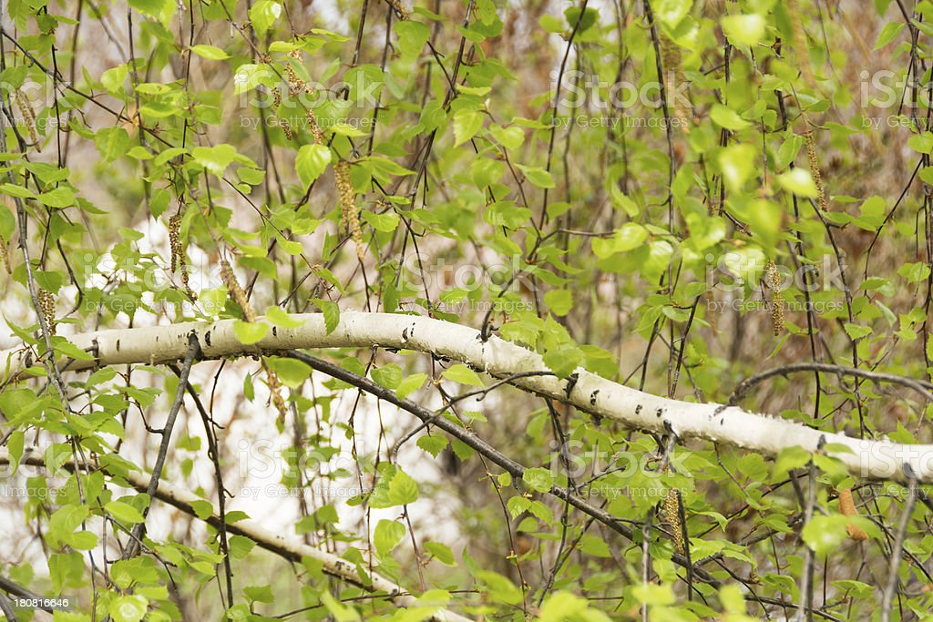 Weeping birch tree branch in early spring. royalty-free stock photo
