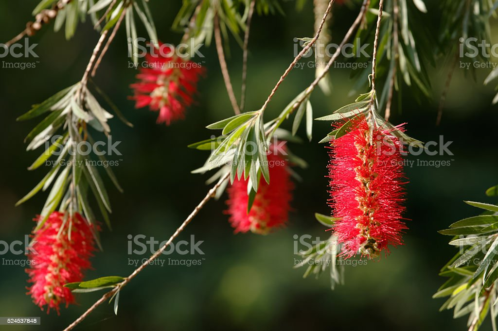 Weeping bottle brush red flower. Myrtaceae family stock photo