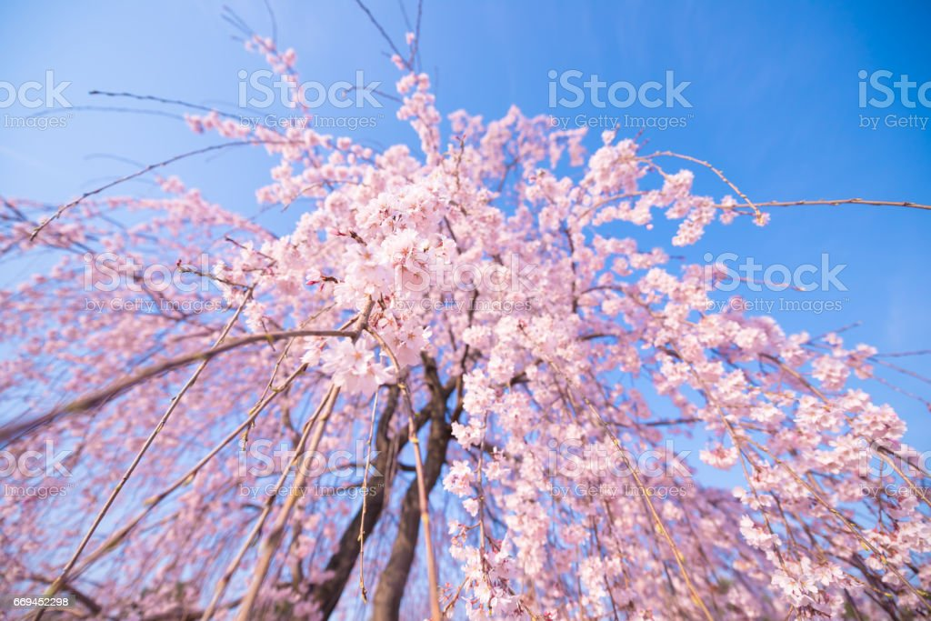 Weeping Cherry Flowers,in Tachikawa,Tokyo,Japan stock photo
