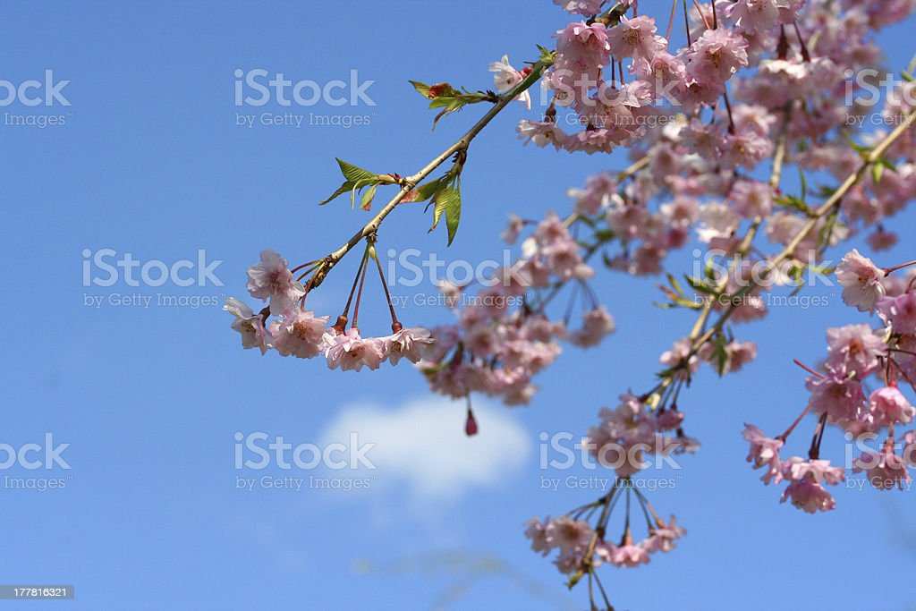 weeping cherry stock photo