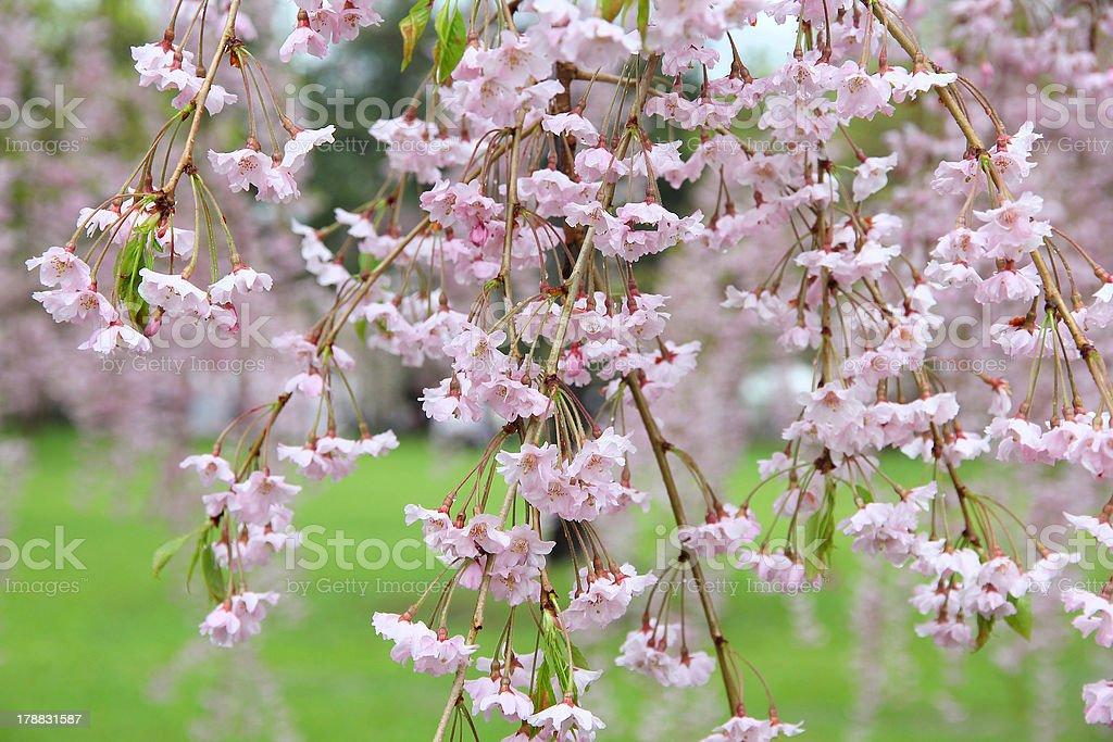 Weeping cherry stock photo