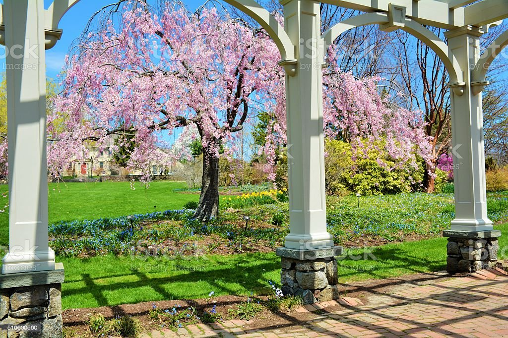 Weeping Cherry Tree beyond the arches stock photo