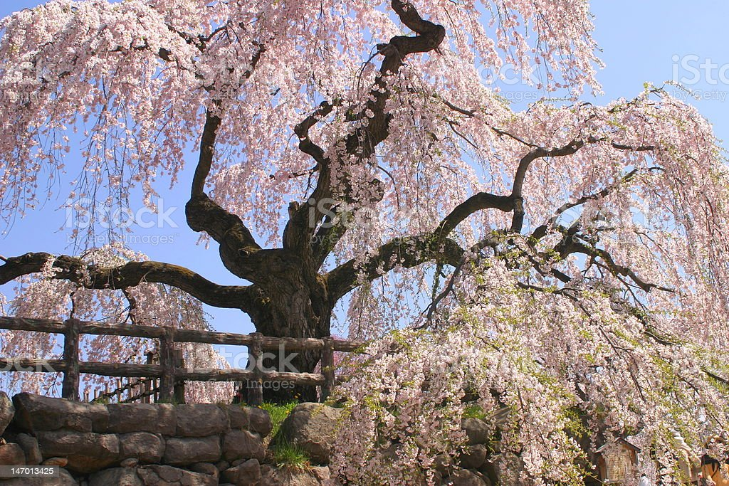 weeping cherry tree on a moat of Hirosaki castle stock photo