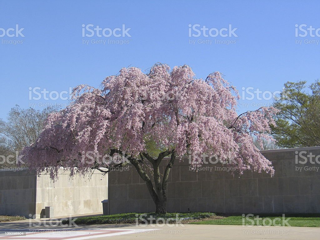 Weeping Cherry Tree royalty-free stock photo