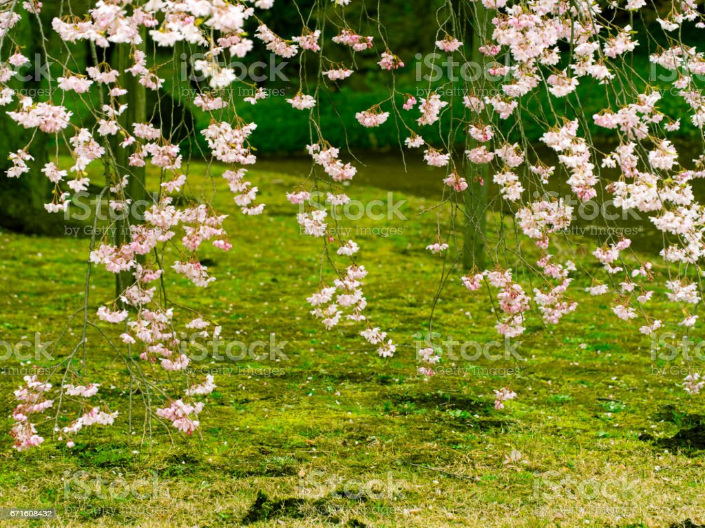 Weeping cherry tree stock photo