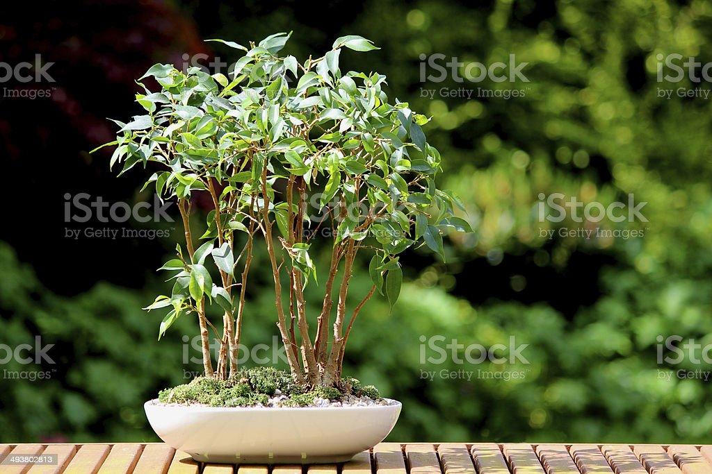 Weeping fig bonsai tree group (ficus benjamina natasja), plant pot stock photo