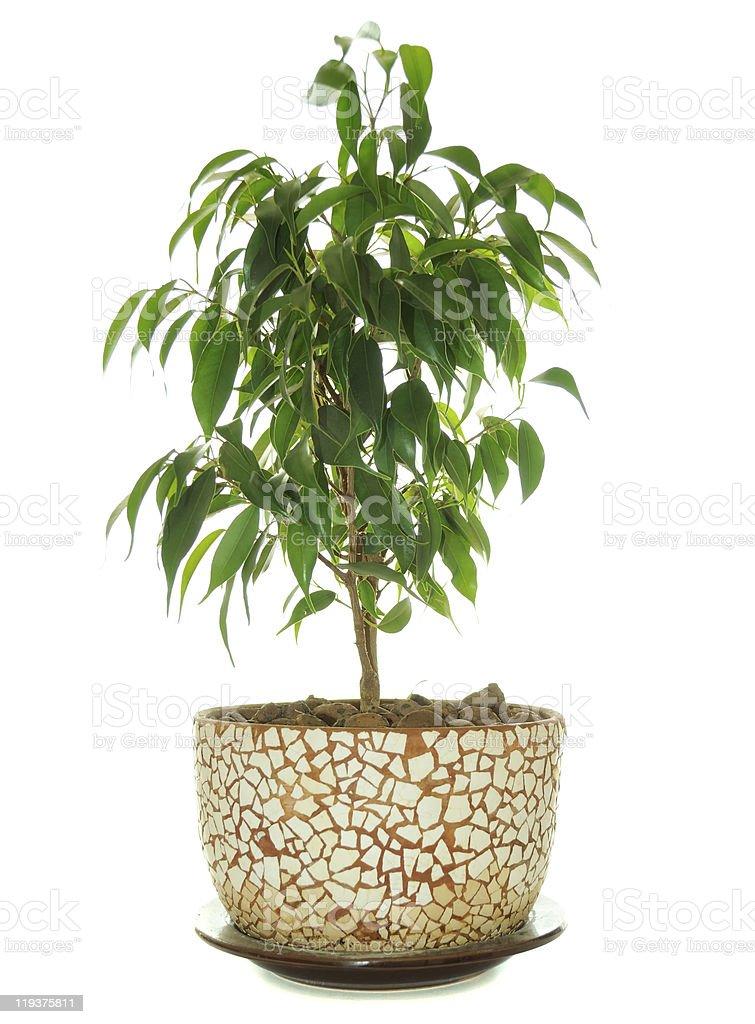 Weeping Fig (Ficus Benjamina) in Pot royalty-free stock photo