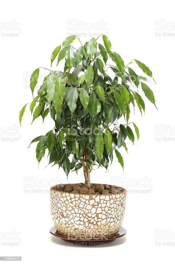 Weeping Fig (Ficus Benjamina) in Pot stock photo