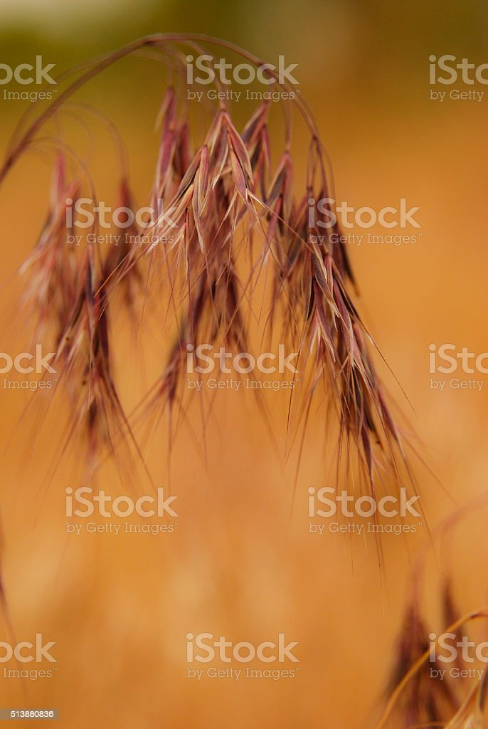 Weeping grass seed heads with blurred background stock photo