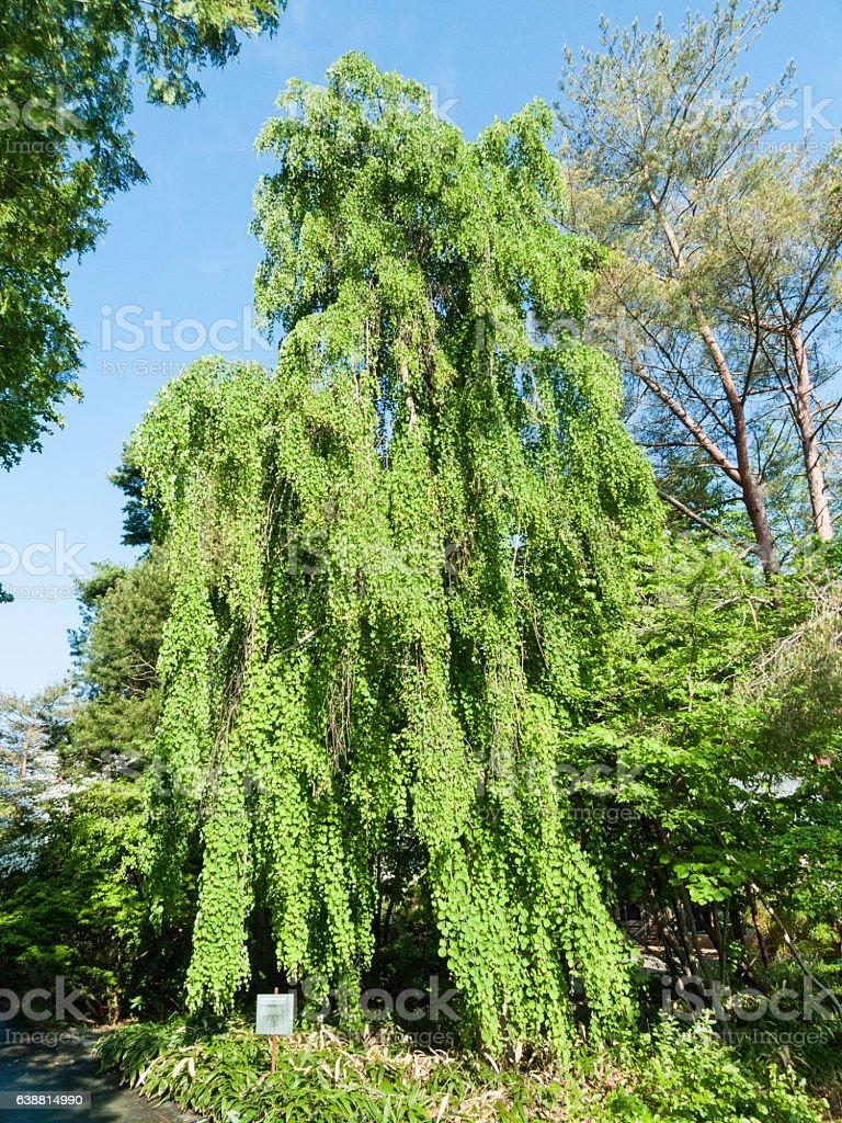 Weeping Katsura Tree stock photo