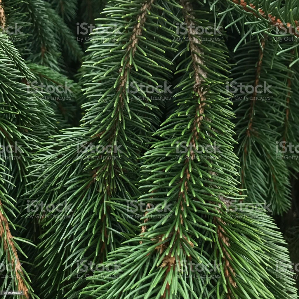 Weeping Norwegian Green Spruce Tree Needles stock photo
