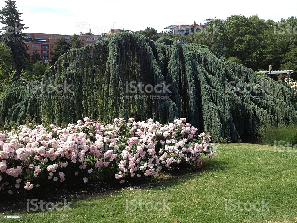 weeping tree royalty-free stock photo