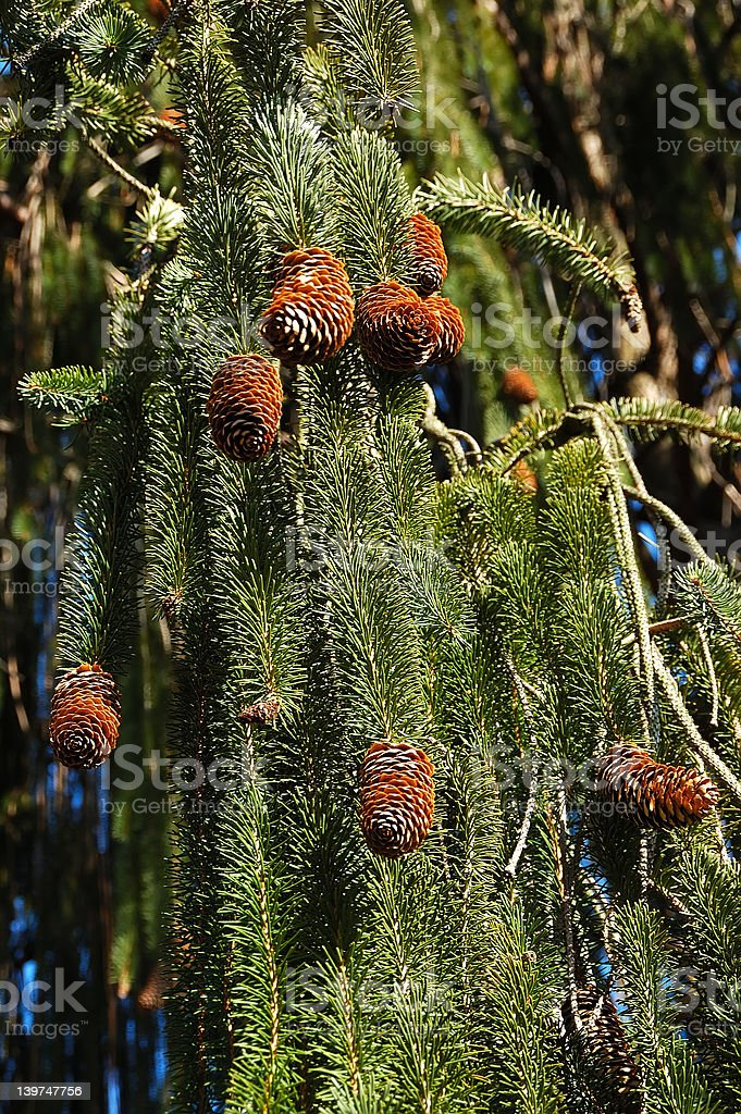 Weeping White Pine stock photo