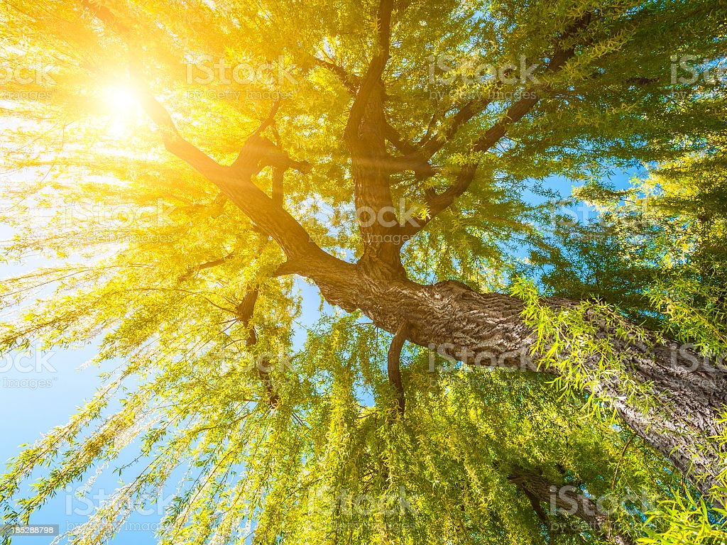 Weeping willow against sun in spring stock photo