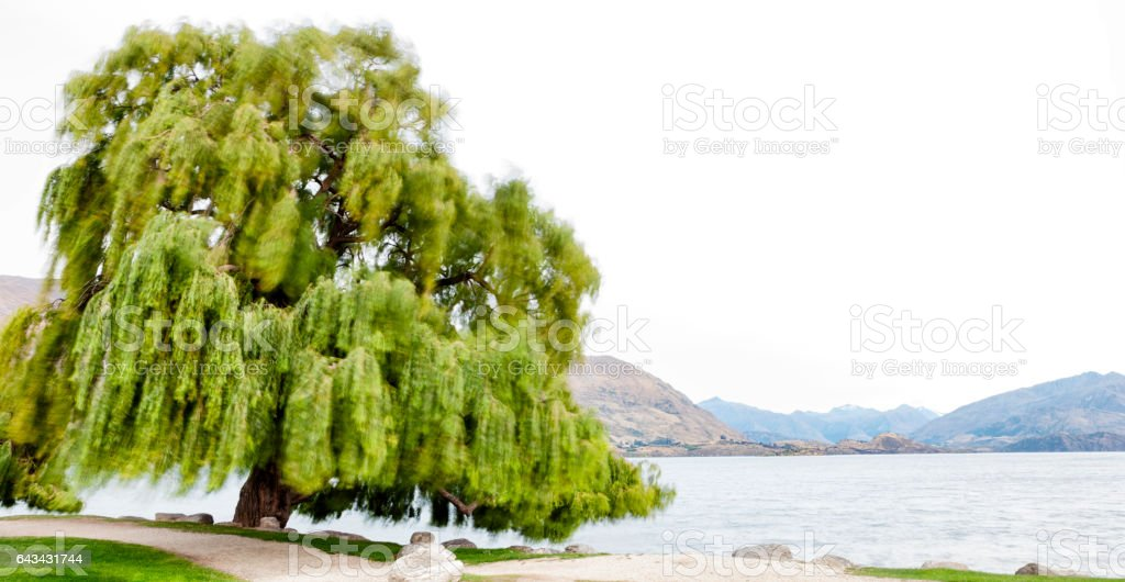 Weeping Willow at Lake Wanaka in the Southern Alps of New Zealand stock photo