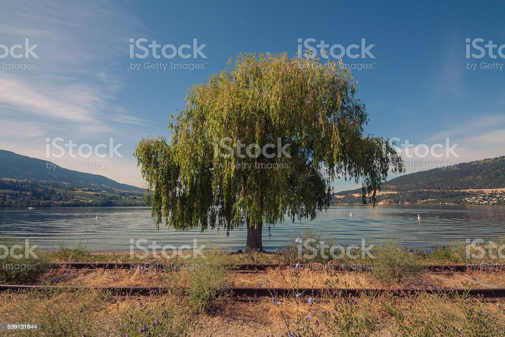 Weeping Willow at Wood Lake, Oyama stock photo