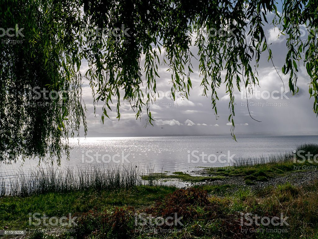 weeping willow, chile royalty-free stock photo