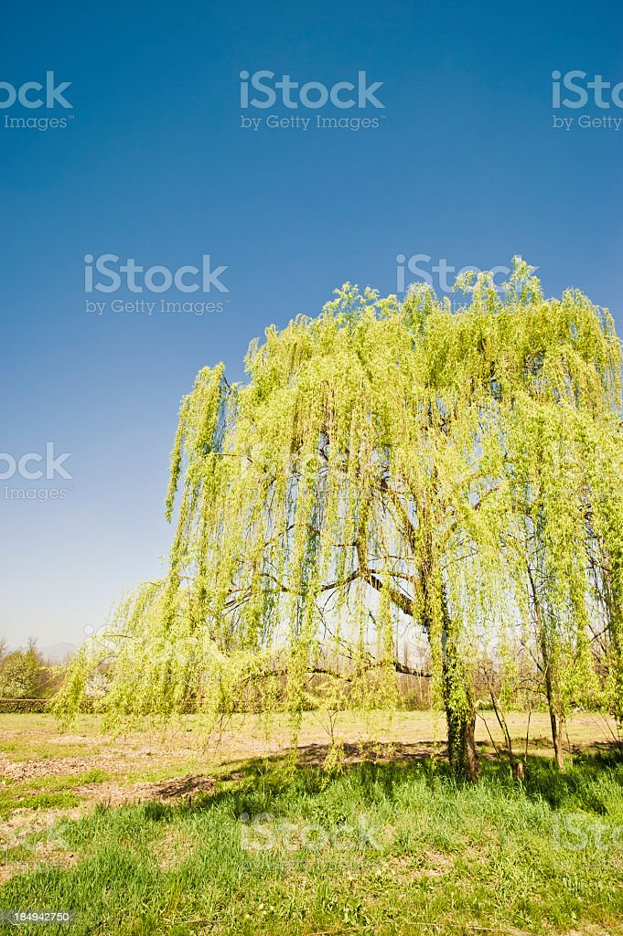 Weeping Willow In A Spring Day stock photo
