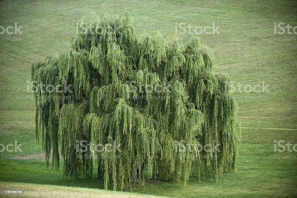 Weeping Willow in a Valley stock photo