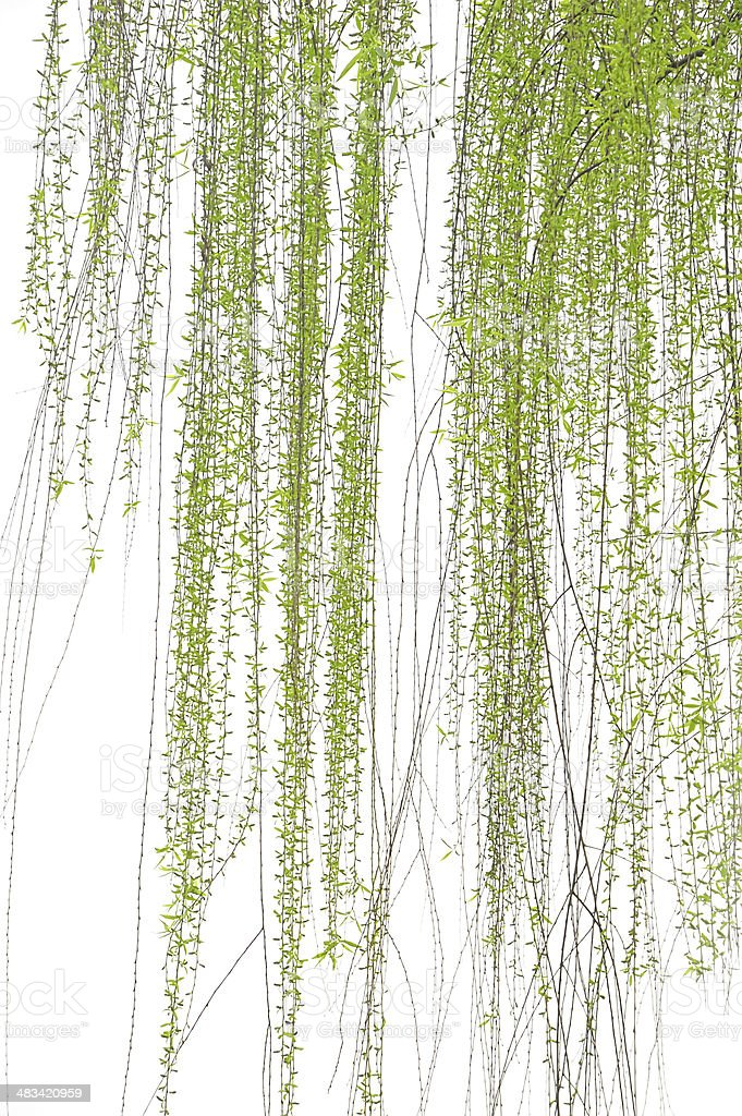 Weeping willow in spring isolated stock photo