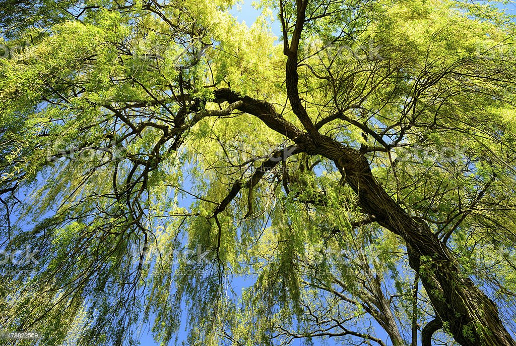 Weeping willow in spring stock photo
