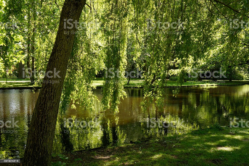 Weeping willow in the park stock photo