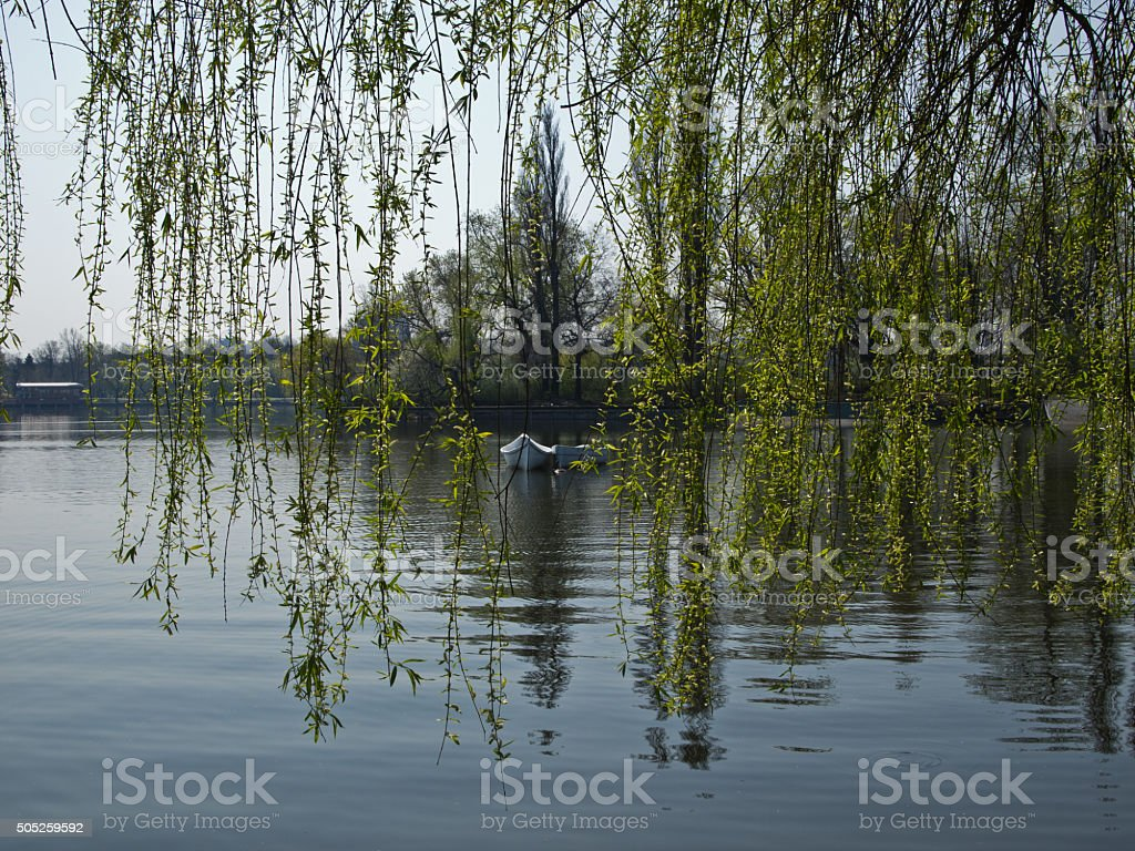 Weeping willow on the border of the lake stock photo
