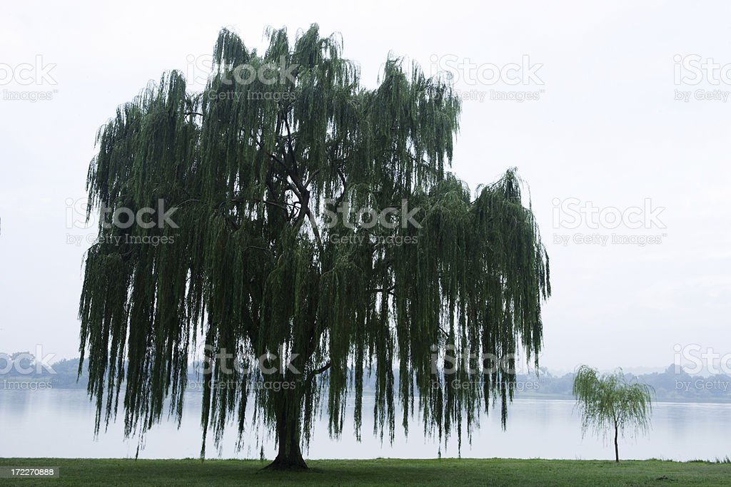 Weeping Willow on the Potomac stock photo