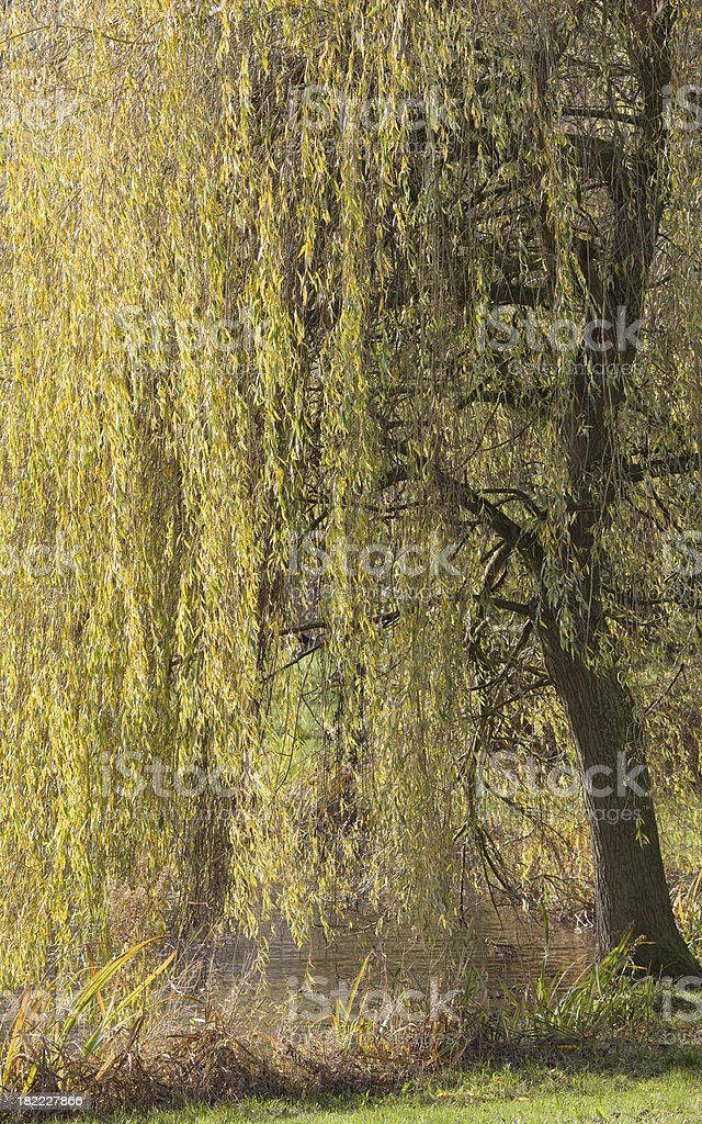 Weeping willow stock photo