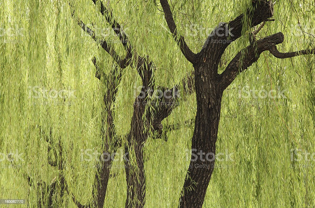 Weeping Willow Shade royalty-free stock photo