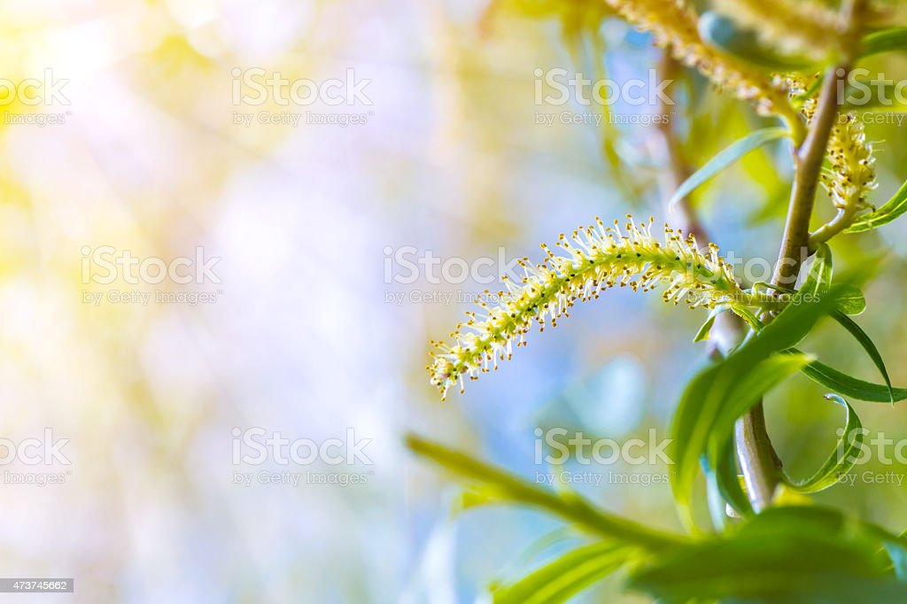 Weeping willow spring branch with green new leaf and pollen stock photo