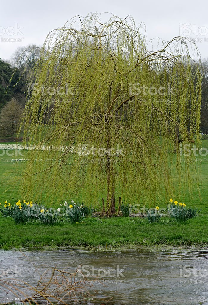 Weeping willow tree by a river. stock photo