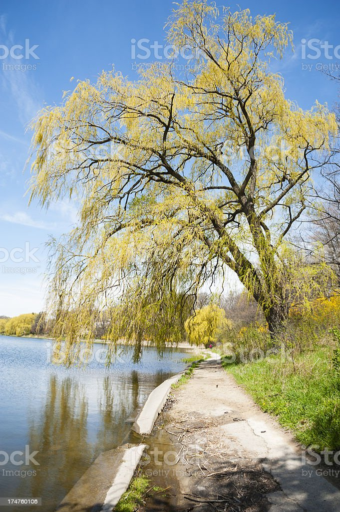 Weeping Willow Tree HIgh Park stock photo
