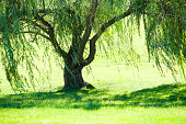 Weeping willow tree in summer