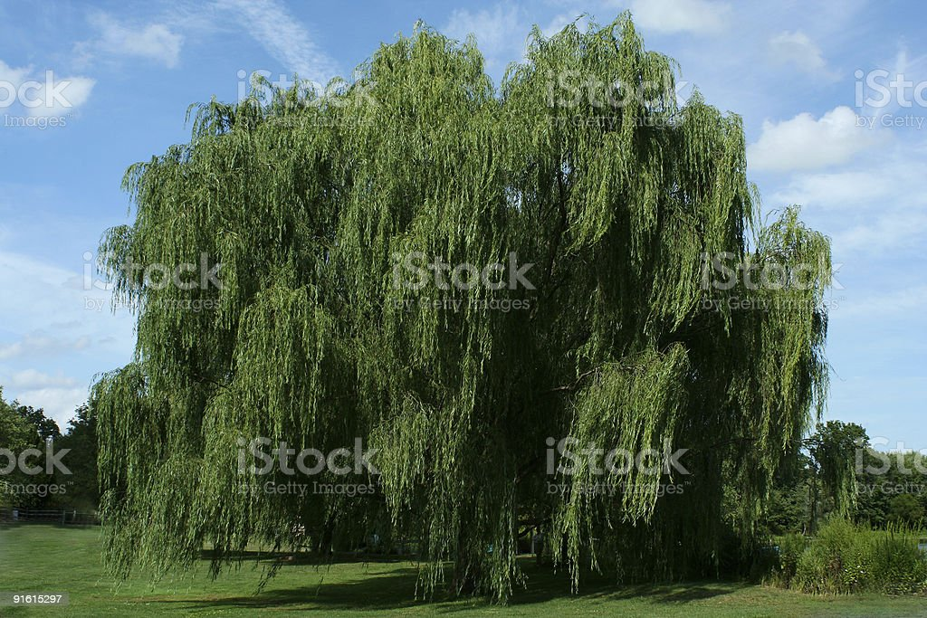Weeping willow tree with blue sky stock photo