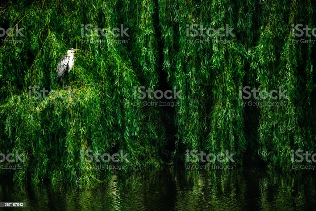 Weeping Willow with a Water Bird stock photo