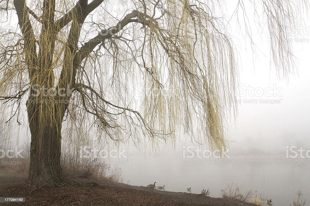 Weeping willow with misty lake stock photo
