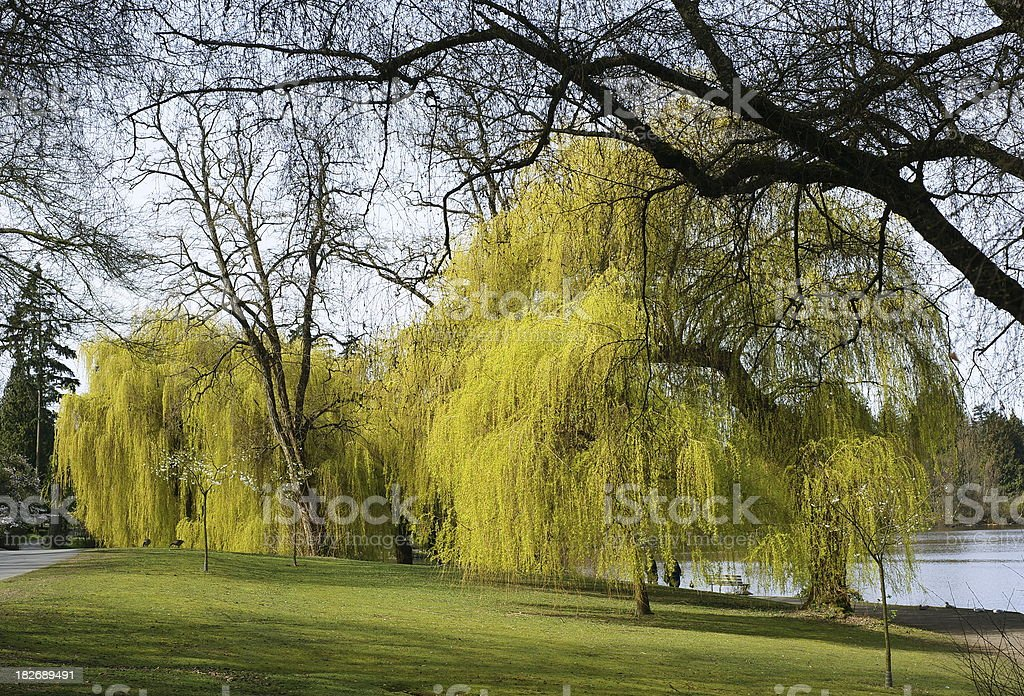 Weeping Willows In A Park stock photo