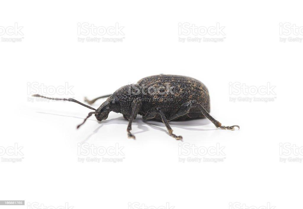 Weevil beetle macro, isolated on white stock photo