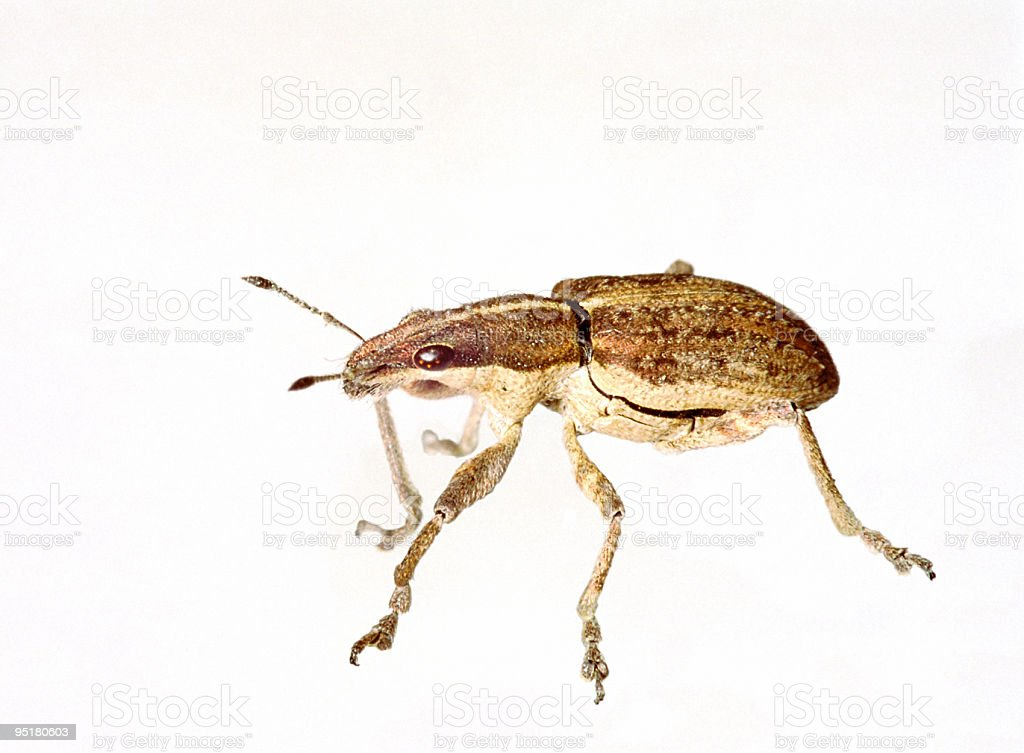 Weevil isolated stock photo