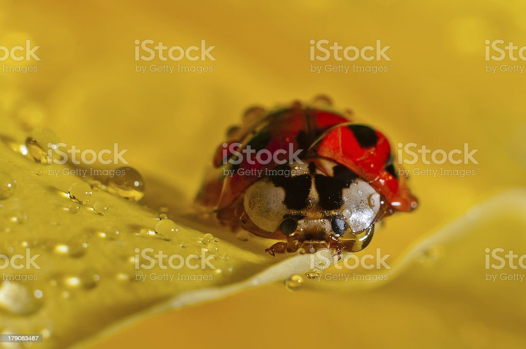 Weevil on a petal royalty-free stock photo