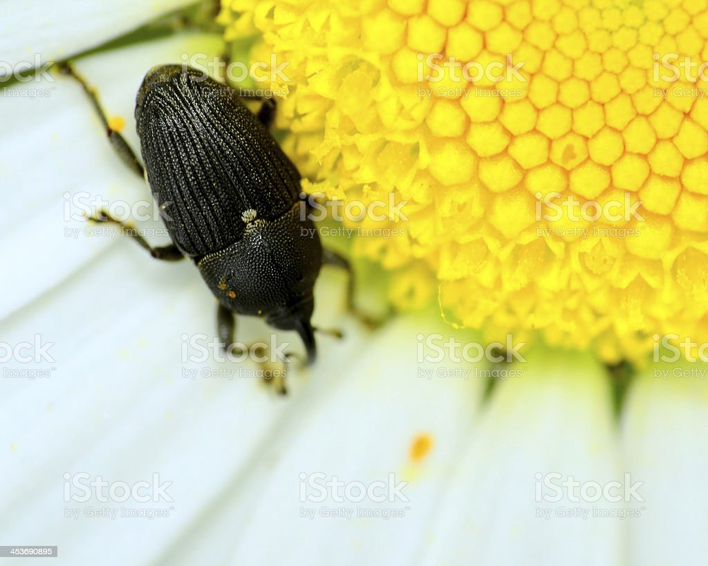 Weevil royalty-free stock photo