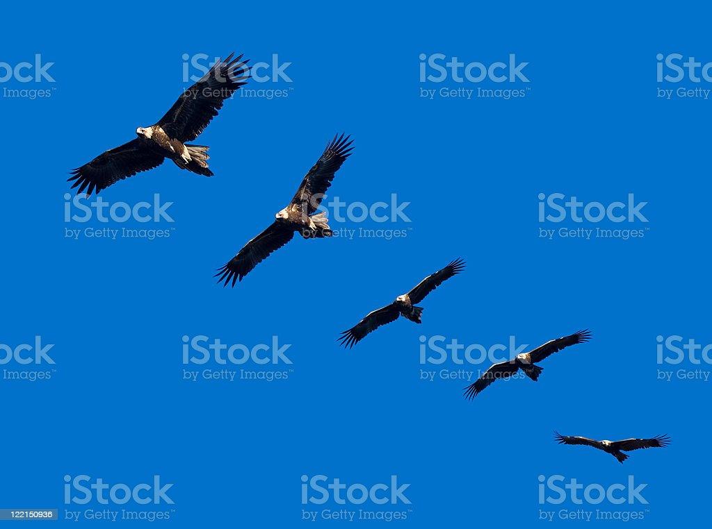 Wege-Tail Eagle Montage stock photo